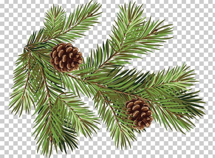 Pine Fir Conifer Cone Spruce Branch Png Christmas Ornament Cone Conifer Conifer Cone Conifers Conifer Cone Botanical Illustration Botanical Art