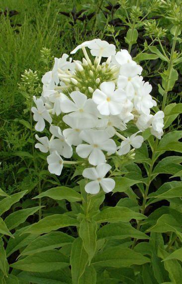 Phlox Die Besten Tipps Gegen Mehltau Garten Ziergarten Mehltau