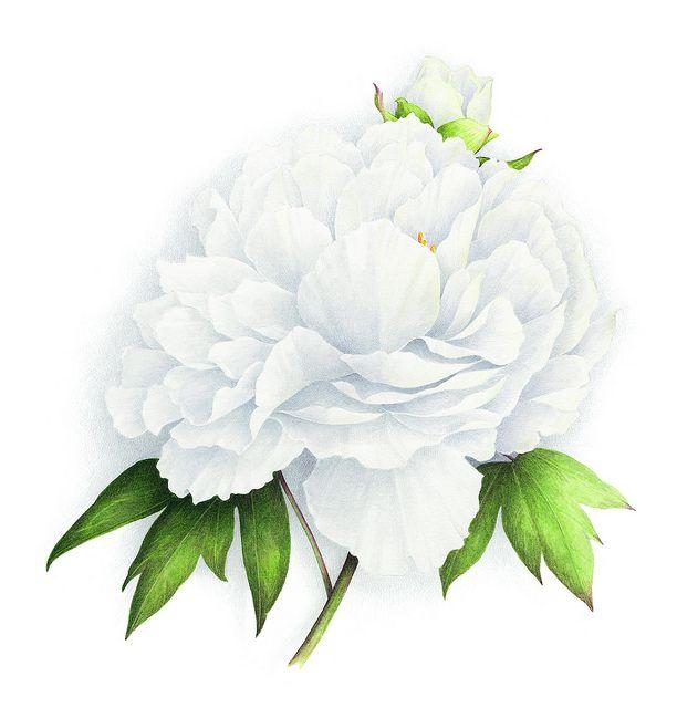 49 best vincent jeannerot peintre aquarelliste images on pinterest botanical illustration. Black Bedroom Furniture Sets. Home Design Ideas