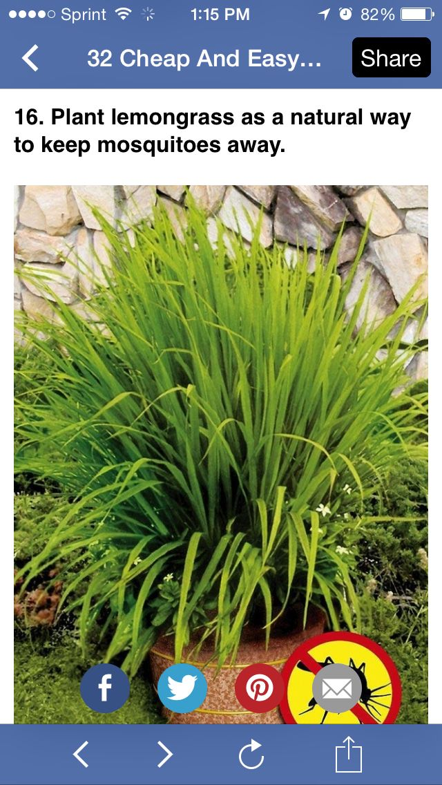 17 best images about plantas on pinterest los gatos for Best plants to keep mosquitoes away