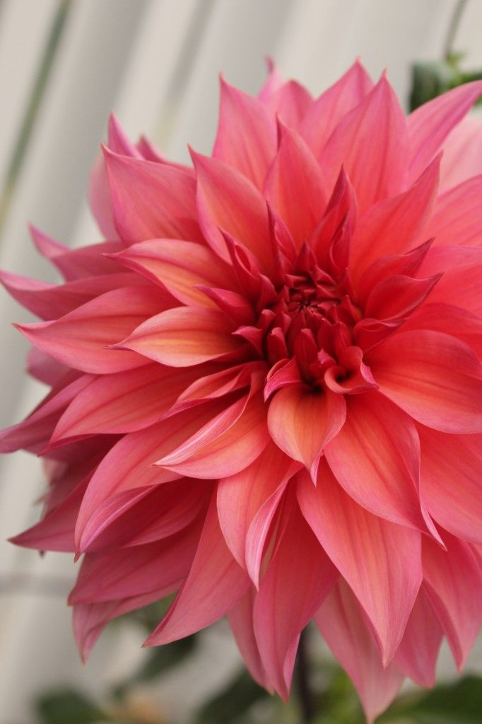 beautiful coral Dahlia might use this image for a watercolor painting good to use for a color study in a way
