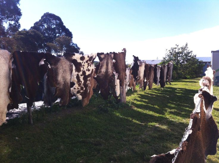 Some beautiful natural black sheepskins on the line today. Naturally drying in the beautiful Hawkes Bay autumn sun! Designed by mother nature, dried by mother nature!