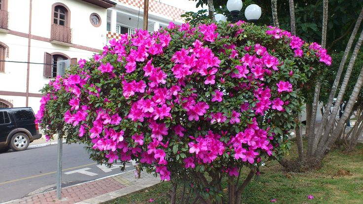 Small flowering shrub azal ia camanduc ia in minas gerais brazil flowers and nature - Blooming shrubs ...