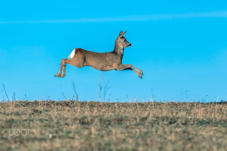 High speed - Deer (Capreolus capreolus) at full speed