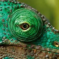 chameleon eyes - Google zoeken