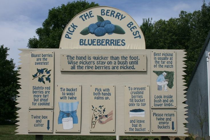 Pick Your Own Blueberries Near Overland Park, Kansas