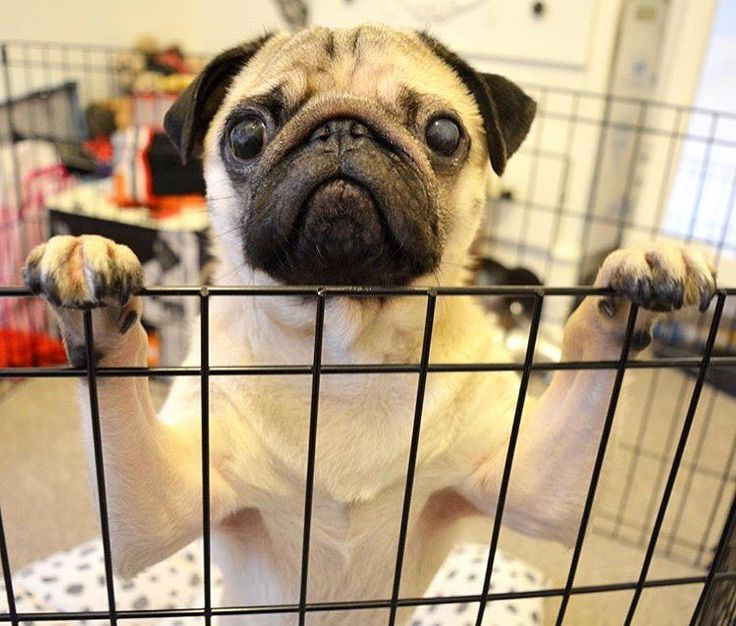 Help! Get me outta here! The weekend has arrived! Photo by @sirsidneythepug Want to be featured on our Instagram? Tag your photos with #thepugdiary for your chance to be featured.