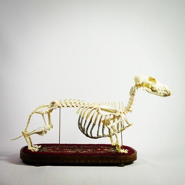 Dachschund Skeleton Canis familiaris For sale at ayreandco.com #taxidermy #interiordesign #skull #skeleton #cute #stuffed #fun #love #antique #naturalhistory #tattoo #gothic #goth #dead #art #curiosity #rare #coolstuff #cool #veryrare #vintage #bones #animal  Size: Measures approx. 36cm x 72cm x 14cm Museum Quality Dachschund Skeleton. Due to the association of the breed with Germany, the dachshund was chosen to be the first official mascot for the 1972 Summer Olympics in Munich.