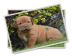 French Mastiff Dog (Dogue de Bordeaux) – A Powerful Dog Breed with High Capacities puppies for sale in india For more info please visit our website:-  http://www.varietykennel.com/blog/French%20Mastiff%20Dog%20Dogue%20de%20Bordeaux%20A%20Powerful%20Dog%20Breed%20with%20High%20Capacities.html