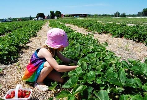 McGregor's Produce!  Best Berries in the Valley (corn too!)