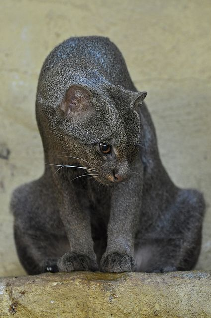 Jaguarundi - In appearance the jaguarundi is unlike any other cat and has been likened to a large weasel or otter, hence its English common name of 'Otter Cat'. It is uniform in colour, ranging from dark grey/brown to an almost chestnut brown. In common with other species of wild cat, the darker forms are usually associated with dense forest cover and the paler forms with more arid habitats.