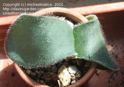 PlantFiles Pictures: Haemanthus (Haemanthus deformis) by michaelmalice