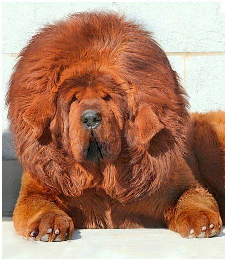 Red Tibetan Mastiff (the Million $ Baby)