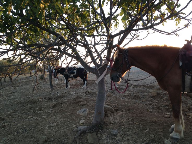 Horses and olive trees in the sunset