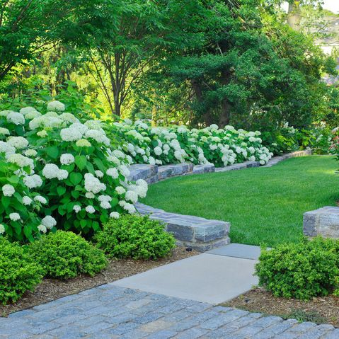 annabelle hydrangea with boxwoods - great for zone 7, just ...