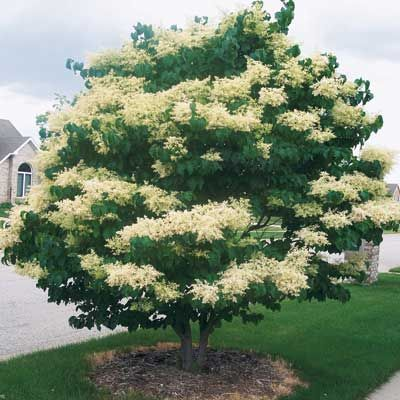 Japanese Lilac Tree - One of our favorite lilacs is now available. Known for the profusion of perfect, creamy-white fragrant flowers and cherry-brown bark, the Lilac Tree is hardy and tough. Grows 20-30 feet tall. Blooms early to mid-June. Possibly the most trouble-free lilac you can grow. The Lilac Tree is resistant to mildew, borers and scale. Plant in full sun