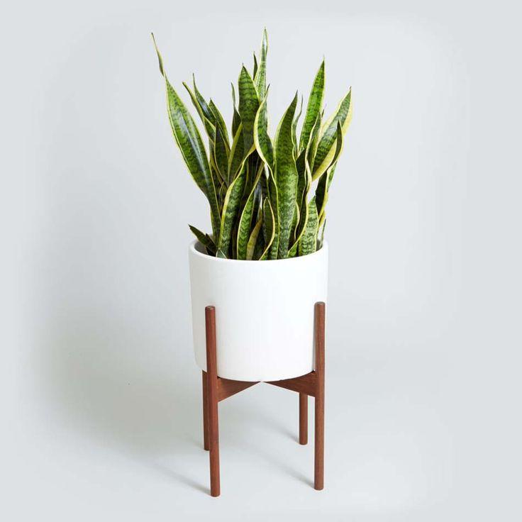 Plante de décoration salle de bain N°2 – la Sansevière