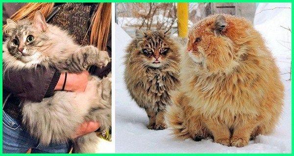 Pesona 6 Ras Kucing Besar Ini Bisa Bikin Kamu Jatuh Hati Dunia Fauna Hewan Binatang Tumbuhan Kucing Siberia Kucing Kucing Besar