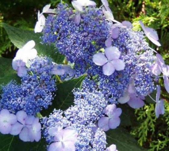 Blue Bird Lacecap Hydrangea hydrangea serrata blue bird Spectacular lace-cap bloom has a ring of sea-blue sterile florets surrounding a large cluster of rich blue fertile flowers. Blooms in early summ