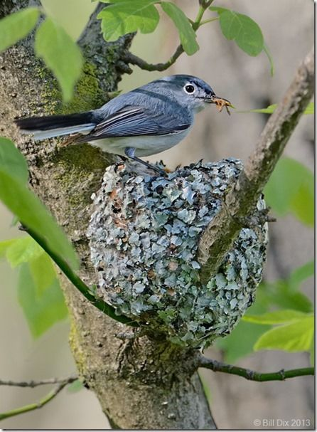 Blue-gray Gnatcatcher at Nest 1 WD