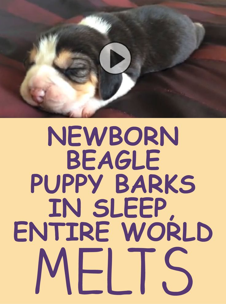 Newborn Beagle puppy barks in his sleep, the entire world melts!!