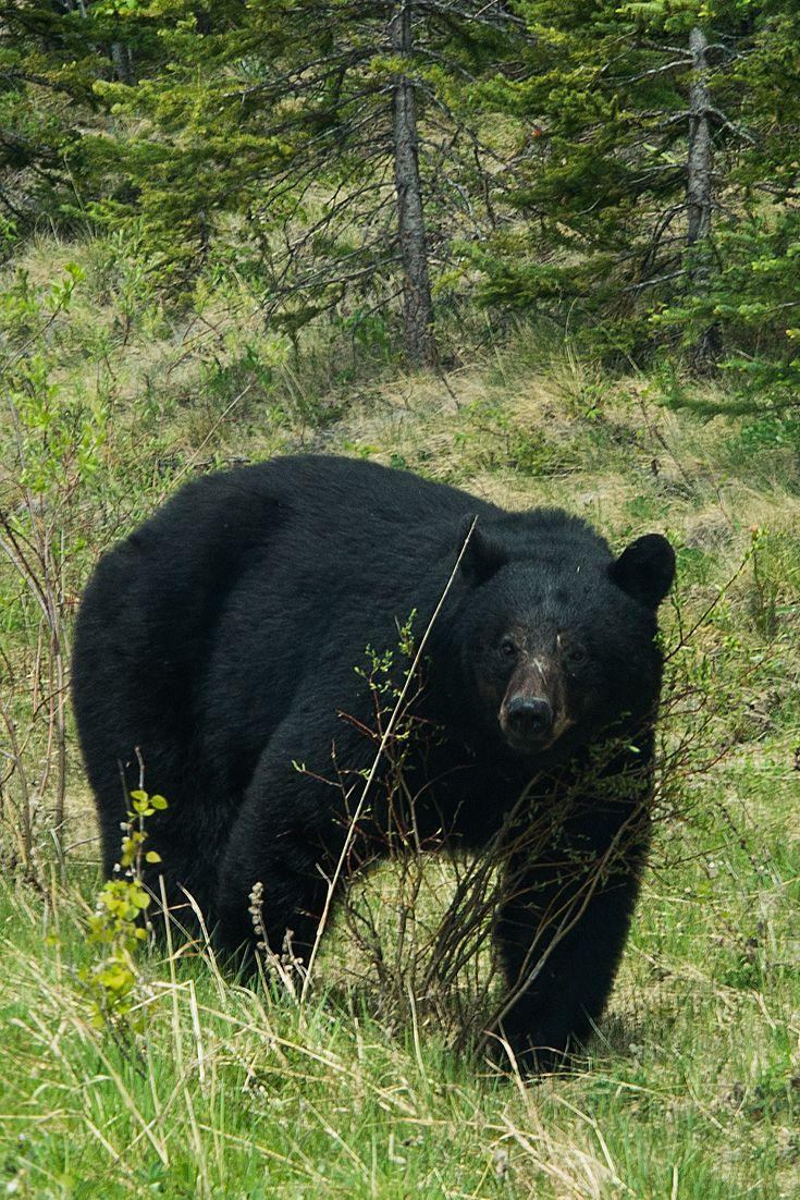 Big bear in Jasper National Park, Alberta Canada
