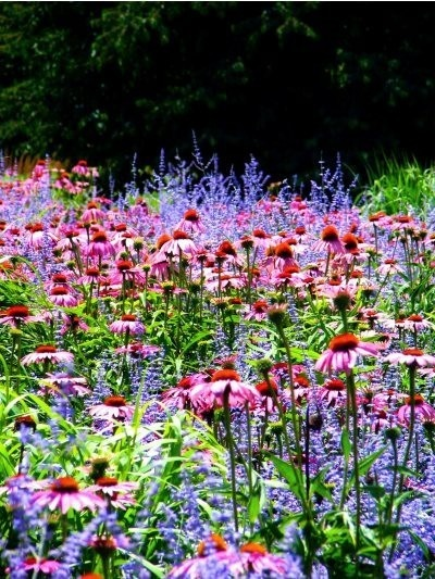I love the mixture of colors and textures of  Echinacea and Perovskia