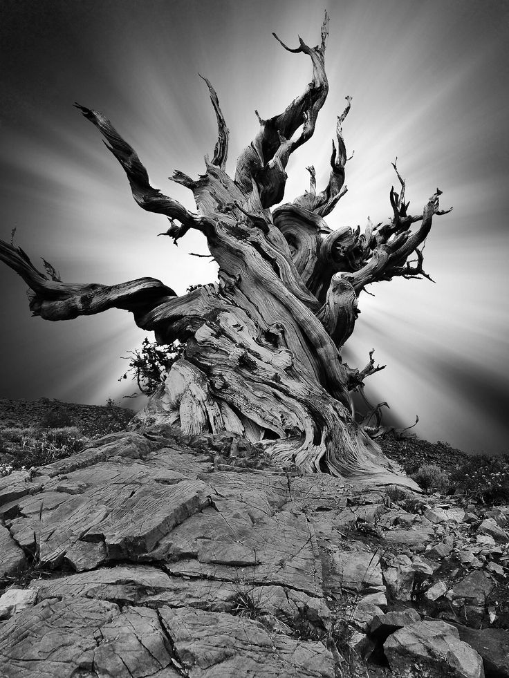 Sinewy by Michael Bandy #5s #Bristlecones #Composite #Monochrome #Mountains #Tree #iPhone #iphoneography #mobile