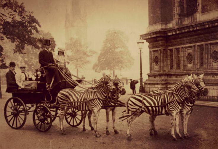 "Vintage Historic Photograph ""Zebra Carriage Unframed Wall Decor"