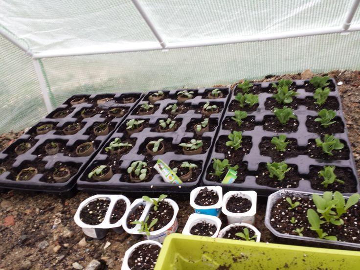 """Éxito en el invernadero, las semillas que sembramos en """"El Laboratorio"""" han salido todas. En breve pediremos tierra para trasplantar los plantones a su sitio definitivo en el bancal."""