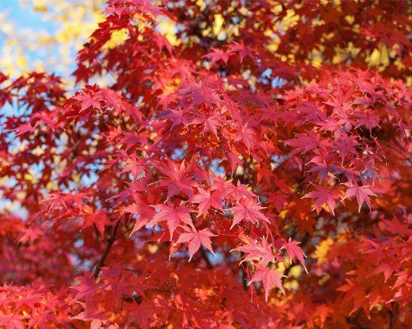 Image result for acer palmatum japanese maple