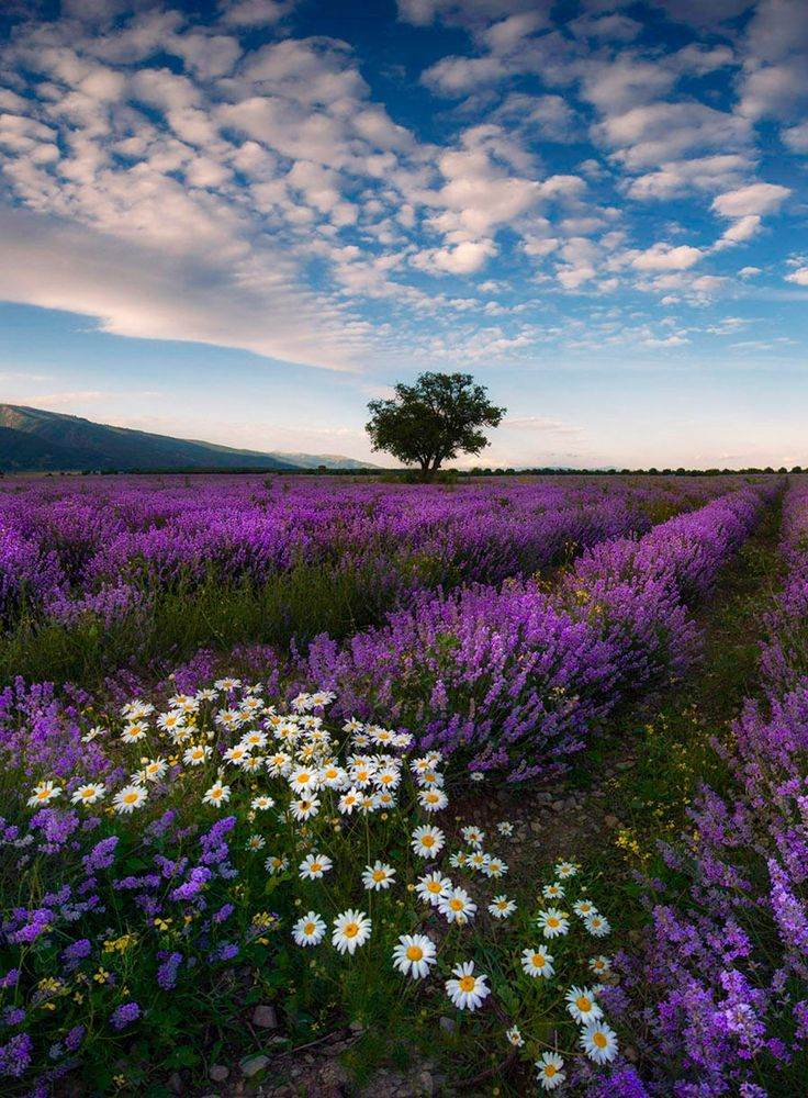 Lavendel Feld in Bulgarien