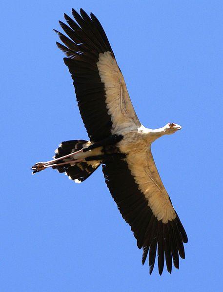 Sudanese Secretary bird