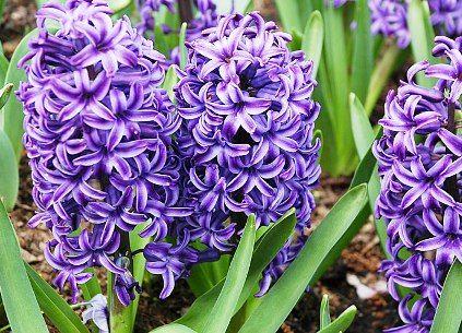 My favorite flower-Hyacinths