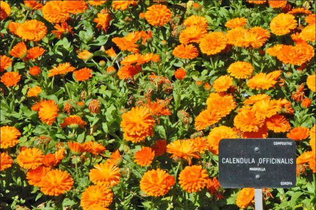 calendula for poison ivy