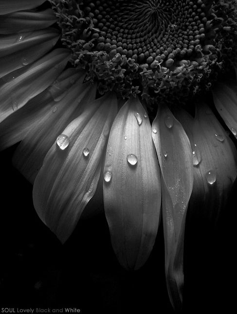 Water drops kissing a sunflower   black & white photo