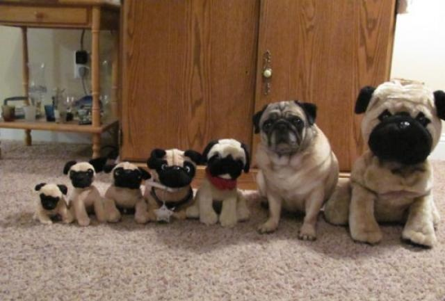 """""""See! I told you, you wouldn't find me!"""": Spots, Animal Pictures, The Real, Pugs Dogs, Funny, Baby Animal, Real Friends, Pugs Life, Real Pugs"""