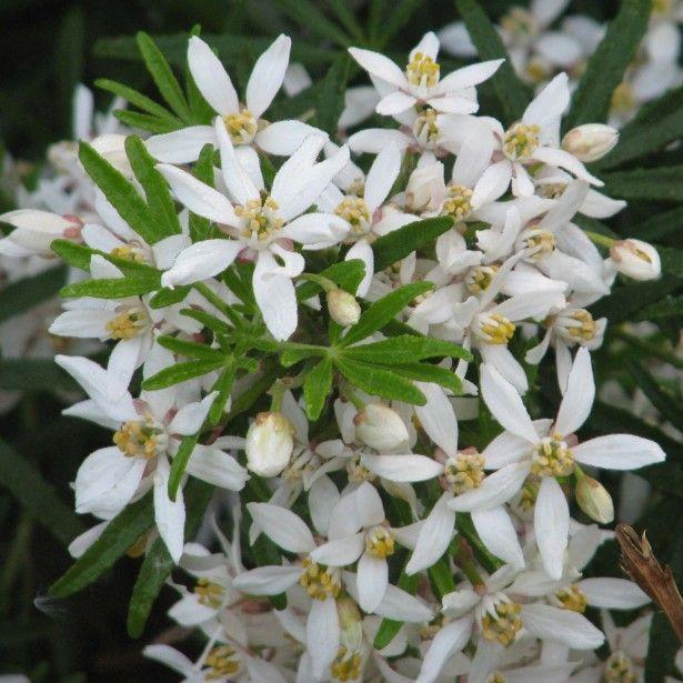 Les 25 meilleures id es de la cat gorie choisya sur pinterest plante de haie oranger du - Plante du mexique ...