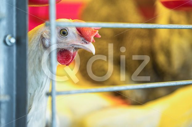 Qdiz Stock Photos | Chicken in farm incubator or coop,  #animal #bird #cage #cell #chicken #coop #country #countryside #farm #farmland #hen #incubator #industry #livestock #poultry #ranch #side
