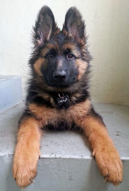 Lara the German Shepherd Dog | Puppies | Daily Puppy