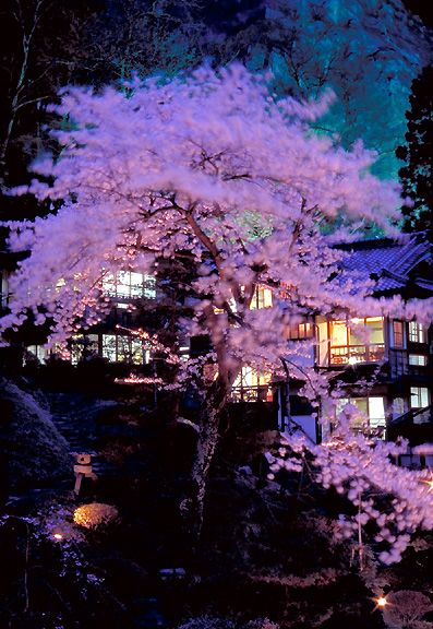 Cherry Trees, Mukaitaki Ryokan Inn, Fukushima, Japan 会津若松市 東山温泉