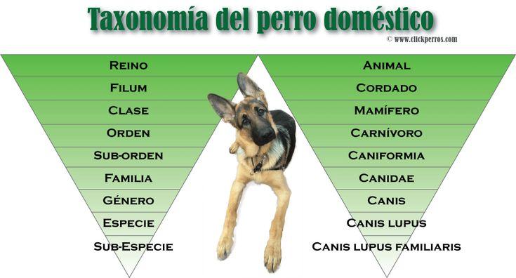 Definición y Nombre Cientifico del Perro