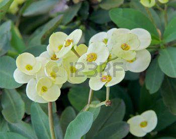 spurge plant: Euphorbia Milii flower plant