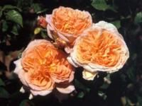Oshun-- rare sport of Abraham Darby; less prone to disease in humid areas.  Excellent repeat on bloom.