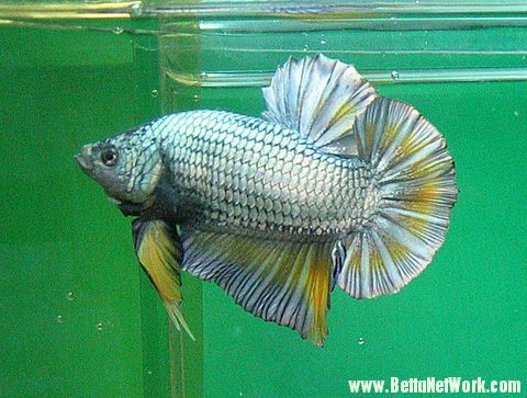 17 best images about giant bettas on pinterest copper for Biggest betta fish