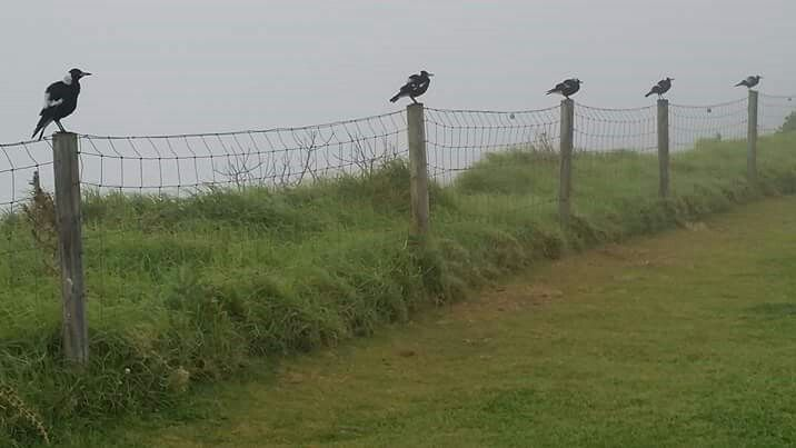 Magpie lineup on top of Lennox Head August 2015