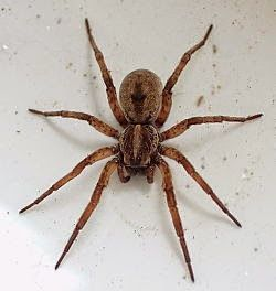 65 best images about get to know spiders on pinterest for How to keep spiders away from your bed