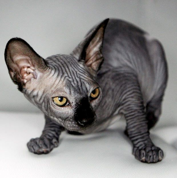 pictures of hairless kittens - Bing Images