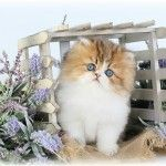 Teacup Persian Cats, Teacup Persian Kittens, miniature Cats, miniature kittens for sale, Munchkin cats, Munchkin Persian Kittens, Teacup Cat BreedersUltra Rare Persian Kittens For Sale – (660) 292-4377 – Located in Northern Missouri (Shipping Available)