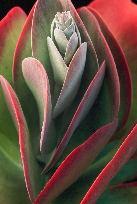 realityrogue:  expression-venusia:  ~~Kalanchoe Thyrsifl Expression  Succulent